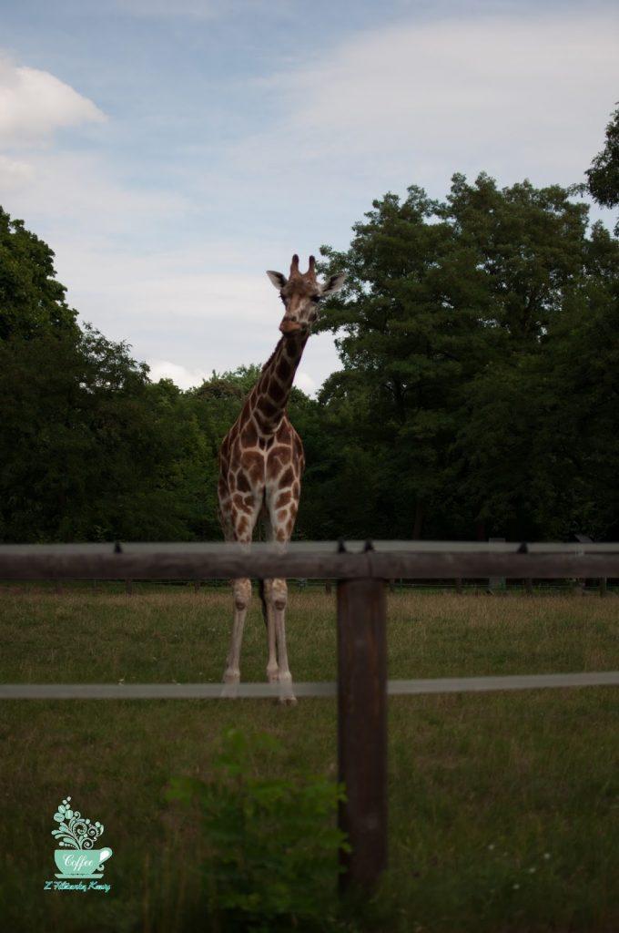 żyrafa zoo