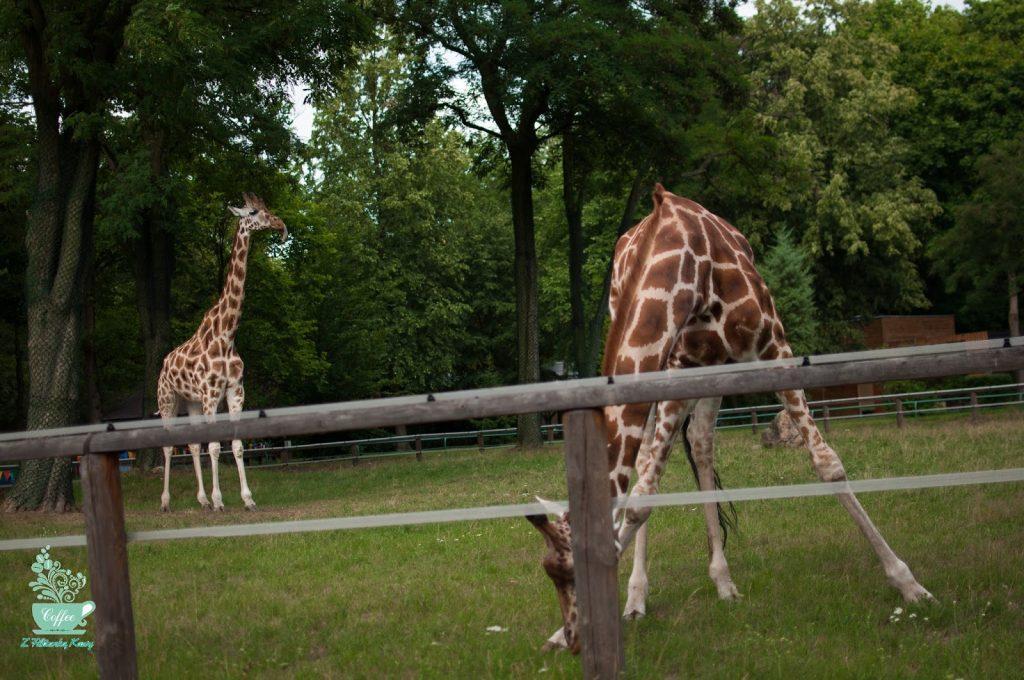 żyrafa Łódź
