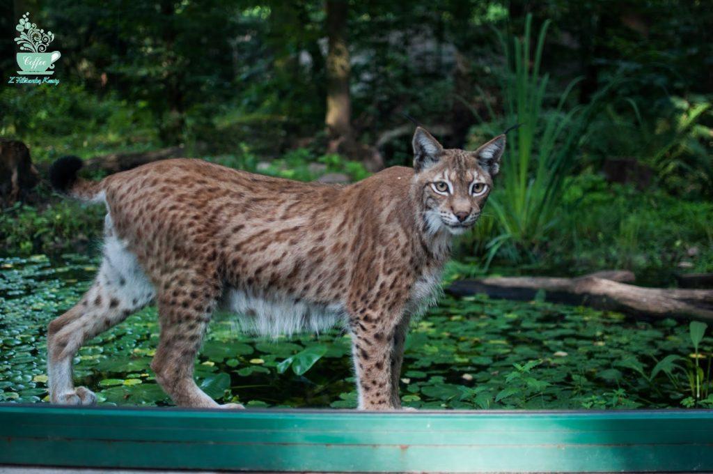 ryś zoo