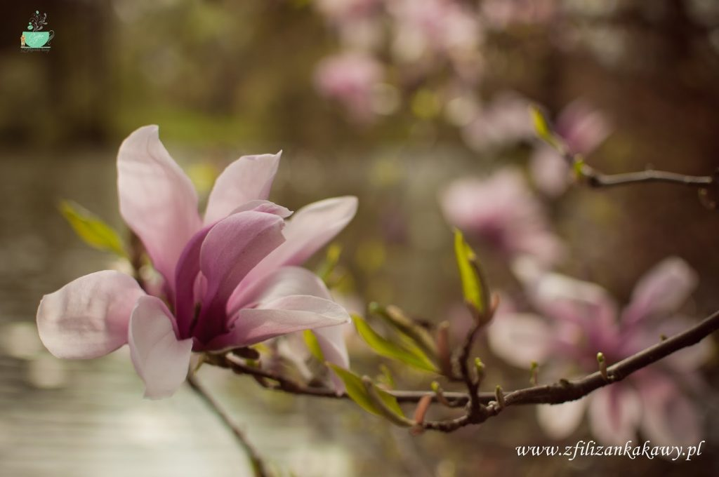 wiosna magnolia